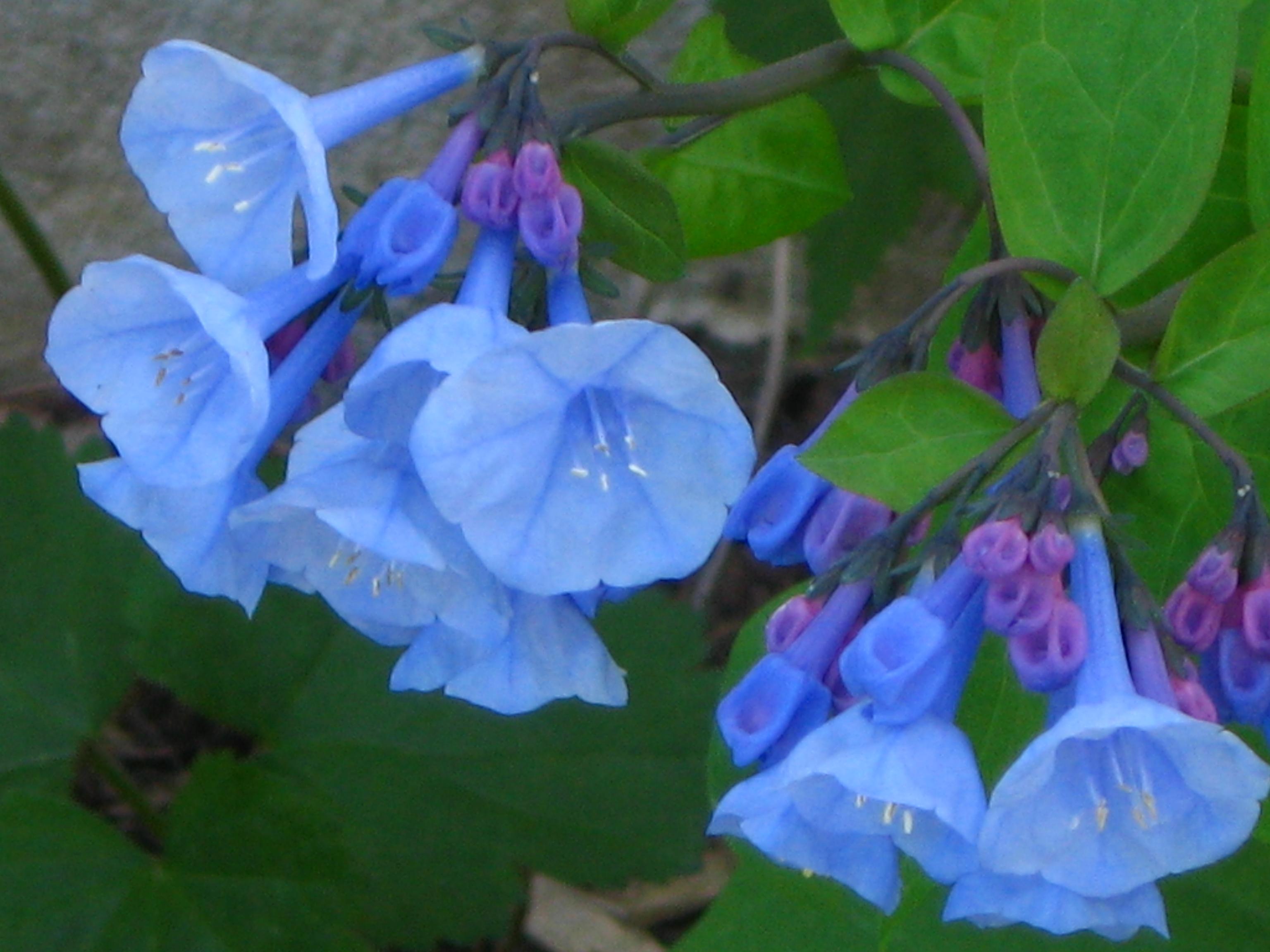 Wildflower Tales Virginia Bluebell